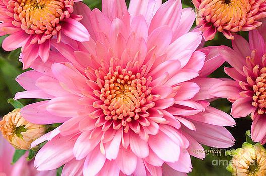 Regina Geoghan - Pink Chrysanthemums