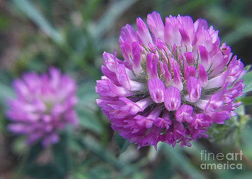 Pink Clovers by Sue Andrus