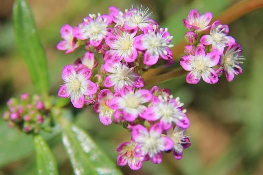 Hermanus A Alberts - Pink Cluster - Wild Flowers
