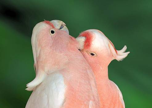 David Rich - Pink Cockatoo Couple