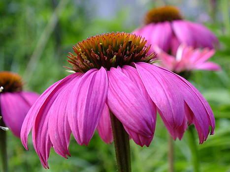 Gene Cyr - Pink Cone