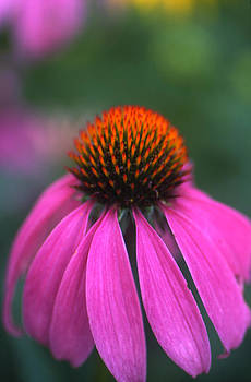 Pink Coneflower by Denise Wagner