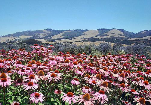 Pink Coneflower Field Along the Coastal Range by Lorrie Morrison