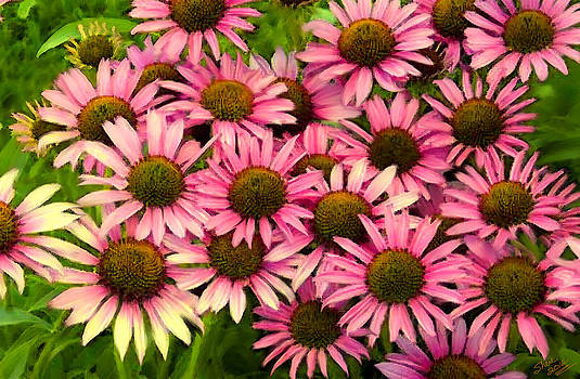 Shere Crossman - Pink Coneflowers