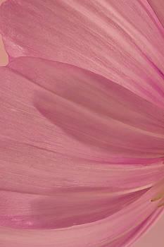 Sandra Foster - Pink Cosmo Petals Macro
