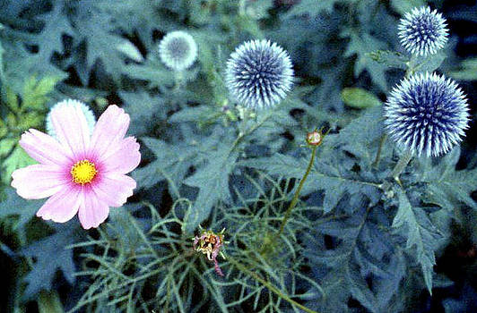 Stephen Proper Gredler - Pink Cosmos and Thistle Buds