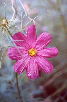 Stephen Proper Gredler - pink cosmos
