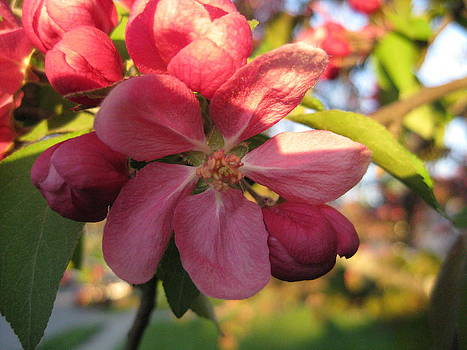 Pink Crab Apple Flower In The Golden Hour by Elisabeth Ann