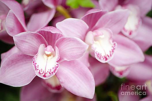 Oscar Gutierrez - Pink Cymbidium Orchids