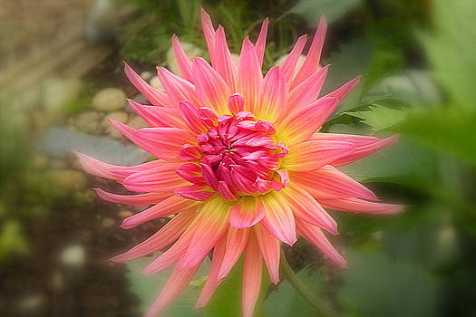 Pink Dahlia by Brian Chase