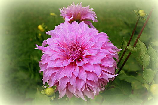 Donna Walsh - Pink Dahlia