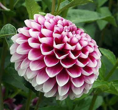 Pink Dahlia by Joyce  Wasser