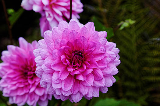 Pink Dahlias by Scott Hill
