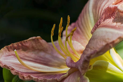 Pink Day Lilly Side View by Sven Brogren