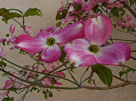 Pink Dogwood by Sally Hanrahan
