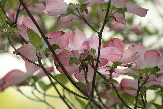 Pink Dogwood Tree 3 by Roger Soule