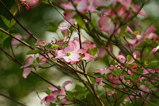 Pink Dogwood Tree 4 by Roger Soule