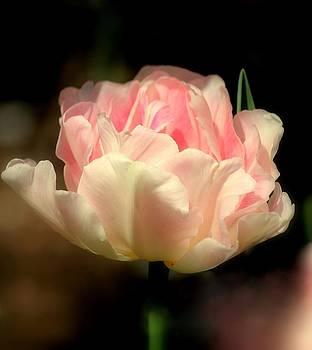 Rosanne Jordan - Pink Dream Tulip