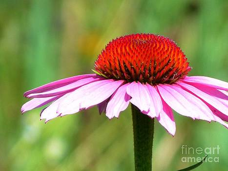 Christine Stack - Pink Echinacea