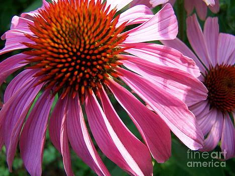 Pink Echinacea by Pamela Walters