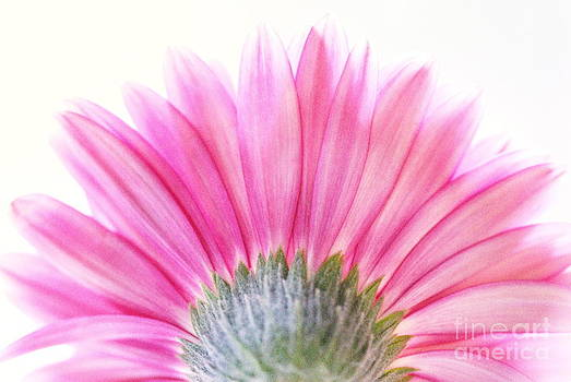 Pink Fan by Andrea Kollo