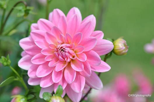 Pink Fizz by Karen E Camilleri