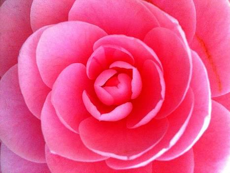 Pink Flower from Garden by Beril Sirmacek