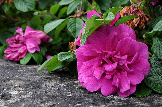 Pink Flower by Sharon Sefton