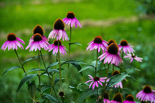 Pink Flowers in Maine by Jason Brow