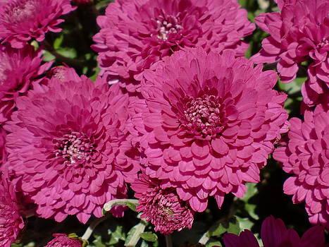 Pink Flowers by Karolina Olszewska