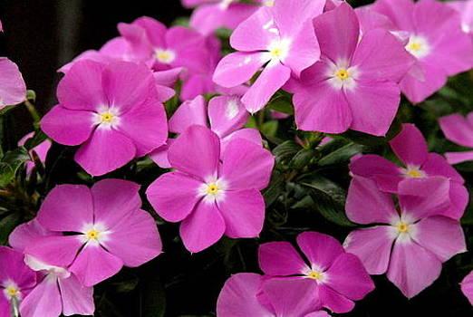 Pink Flowers by Kasie Morgan