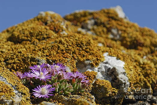 Pink flowers on mossy rock by Sami Sarkis
