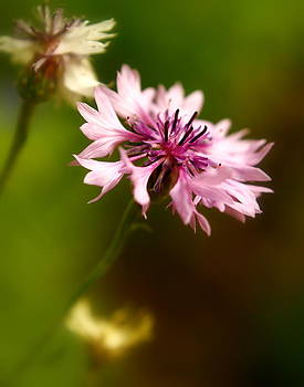 Pink Frillies by Alexandra  Rampolla
