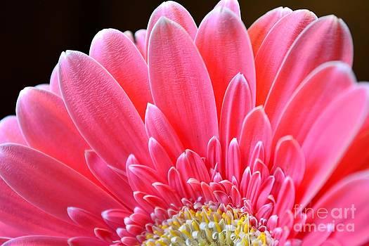 Pink Gerbera Flower by Elizabeth Hernandez