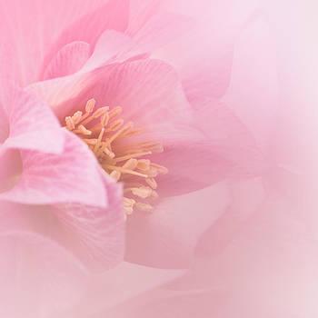 Pink Hellebore by Alena Bytcankova