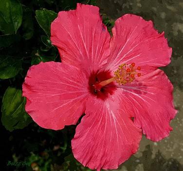 Buzz  Coe - Pink Hibiscus