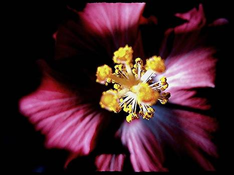 Pink Hibiscus by Frederick R