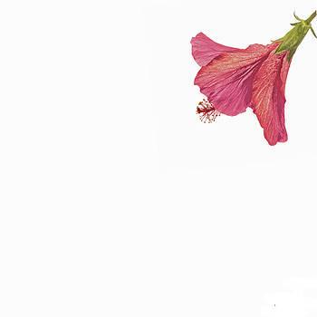 Jan Hagan - Pink hibiscus