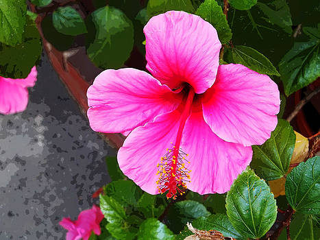 Pink hibiscus by Sally Stevens