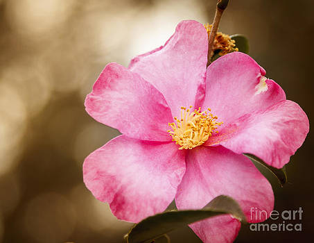 Pink Home Run Rose by Silken Photography