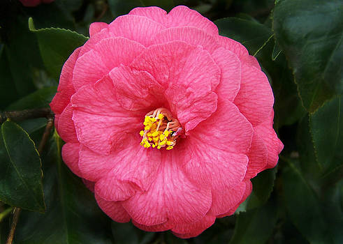 Pink Hybrid Camellia japonica by William Tanneberger
