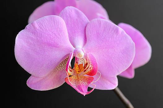 Pink Hybrid Phalaenopsis by William Tanneberger