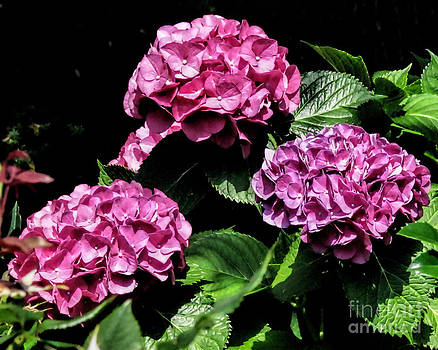 Anne Ferguson - Pink Hydrangea