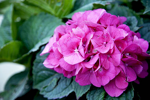 Pink Hydrangea Beauty by Crystal Cox
