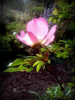 Pink Illumination by Heather L Wright