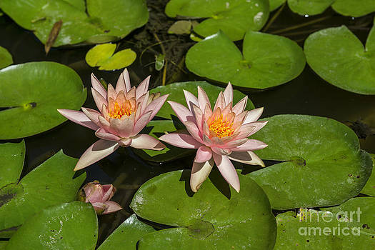 Jamie Pham - Pink Lilies - Beautiful lily pond with pink water lilies in bloom with koi fis