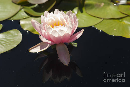 Pink Lily by Nur Roy