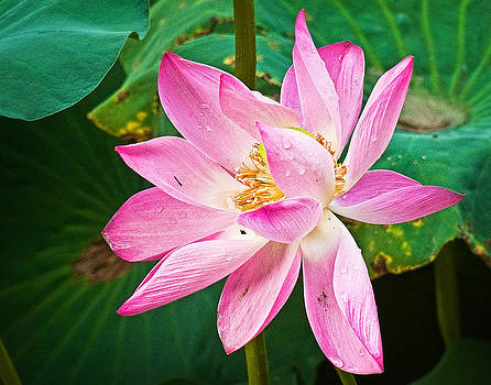 Pink Lotus Flower by Bill Boehm