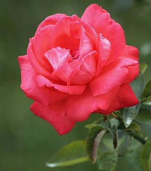 Rosanne Jordan - Pink Magic in Bloom