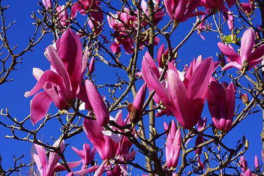 Baslee Troutman - Pink Magnolia Flowers Spring Blooming Tree